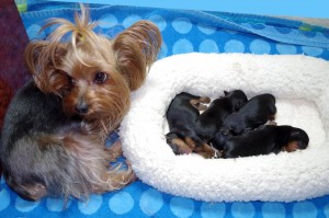 DK Yorkies - Amarillo, TX | Yorkie Puppies For Sale