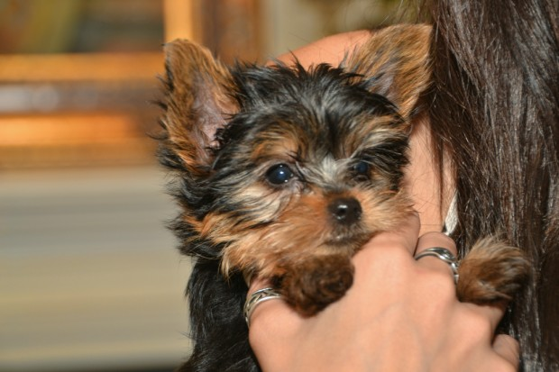 Bringing Home A New Yorkie Puppy | DK Yorkies